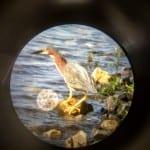 Paste Green Heron